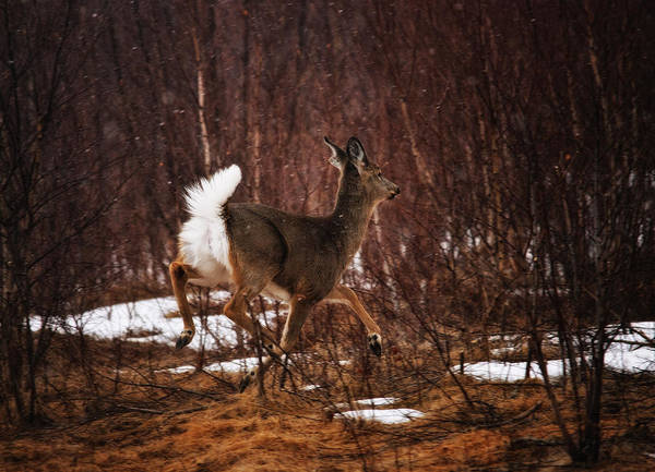 Winter Deer Photograph - Dashing Through The Snow by Susan Capuano