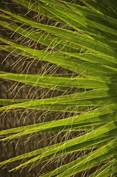 Photograph - Date Palm by Sherri Meyer