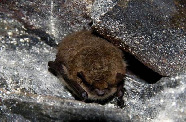 Hibernation Wall Art - Photograph - Daubenton's Bat by Sinclair Stammers/science Photo Library