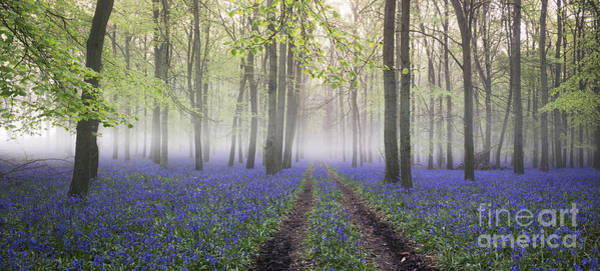 English Countryside Photograph - Dawn Bluebell Wood Panoramic by Tim Gainey