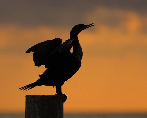 Phalacrocorax Auritus Wall Art - Photograph - Dawn Double-crested Cormorant by Tony Beck