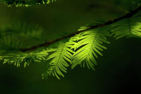 Redwoods Photograph - Dawn Redwood Foliage by Simon Fraser/science Photo Library