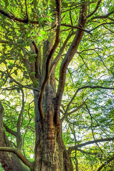 Photograph - Dawn Redwood by Kate Brown
