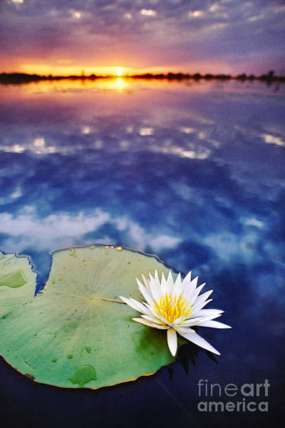 Photograph - Day-blooming Water Lily Closing by Frans Lanting MINT Images