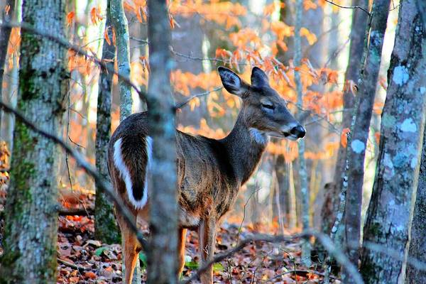 Photograph - Day Dreaming Deer by Rebecca Frank