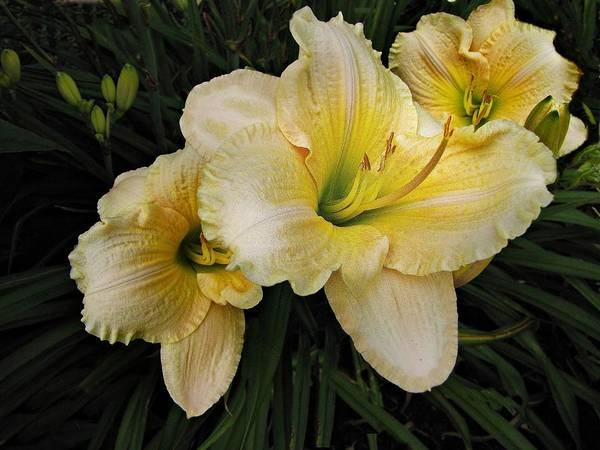 Photograph - Day Lilies A Short Life by David Dehner