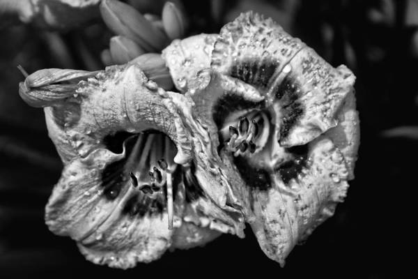 Photograph - Day Lillies by Ben Shields