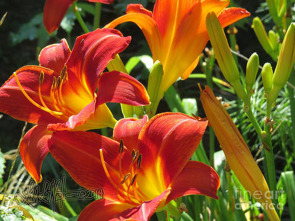 Photograph - Day Lily 2 by Linda L Martin