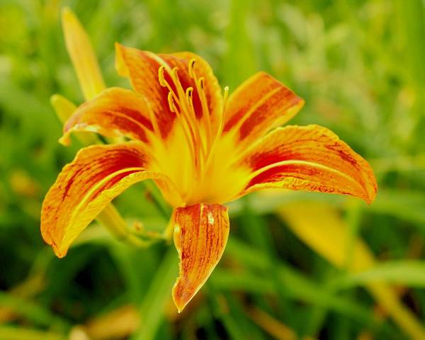Photograph - Day Lily 4 by John Feiser