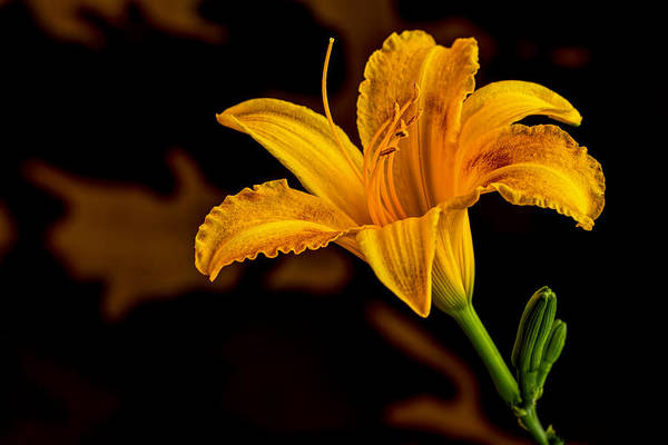 Photograph - Day Lily by Dave Bosse