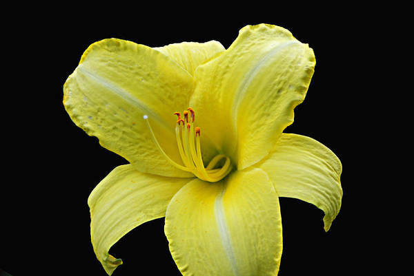 Photograph - Day Lily Pla 134 by G L Sarti