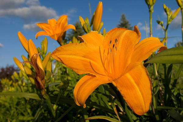 Photograph - Day Lily Time by Paul Johnson
