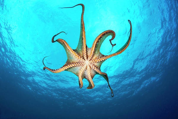 Wall Art - Photograph - Day Octopus  Octopus Cyanea , View by Dave Fleetham