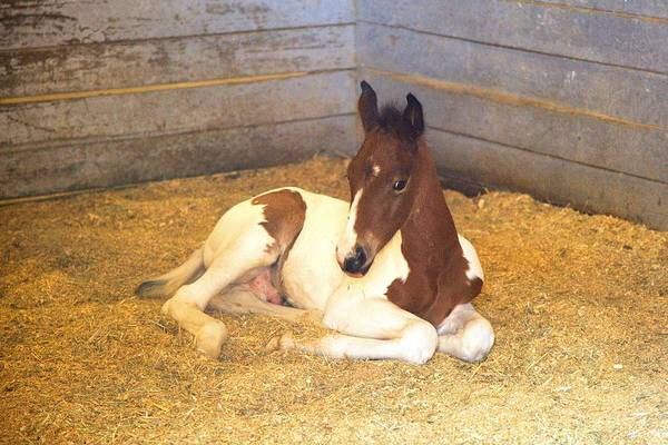 Photograph - Day Old Colt by Gordon Elwell