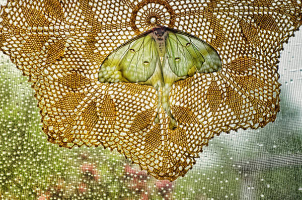 Moth Photograph - Daydream Catcher by Susan Capuano