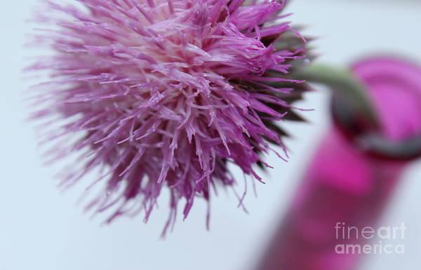Thistle Photograph - Daydreamer by Krissy Katsimbras