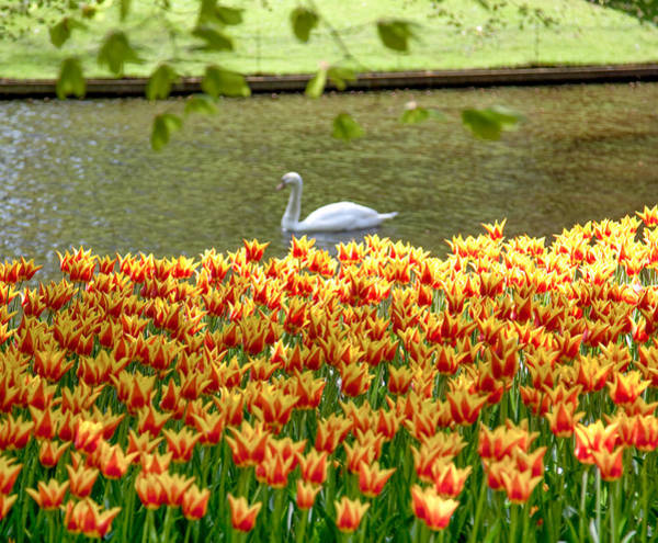 Keukenhof Photograph - Daydreaming by Aaron Aldrich