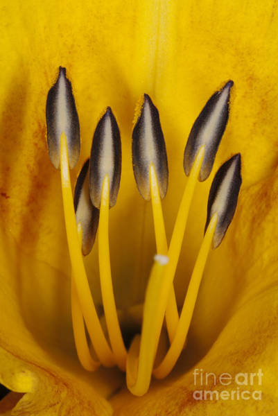 Photograph - Daylily Stamens And Pistil by Scott Camazine