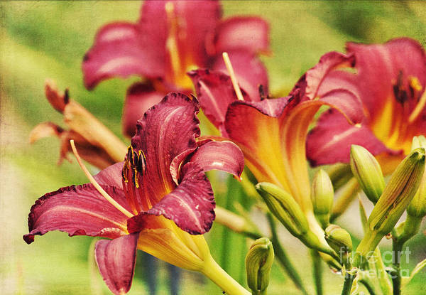 Photograph - Daylily's by Pam  Holdsworth