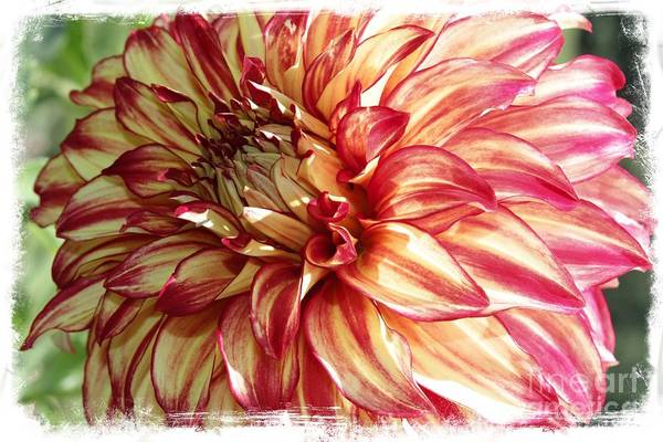 Photograph - Dazzling Dahlia With Border by Carol Groenen
