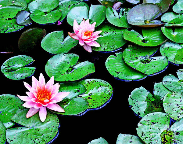 Photograph - Dc Water Lillies 1 by Larry Oskin