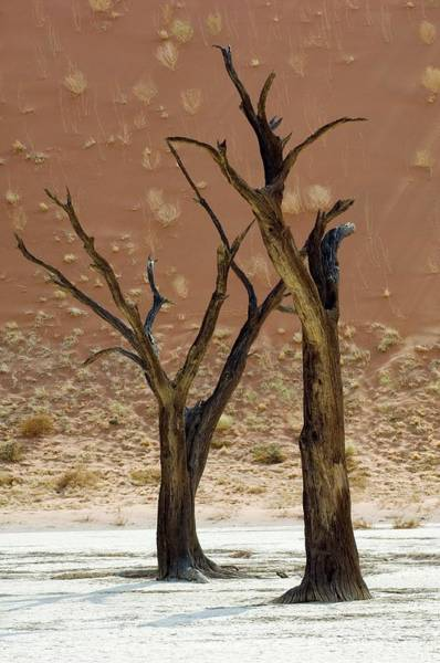 Wall Art - Photograph - Dead Acacia Trees by Tony Camacho/science Photo Library