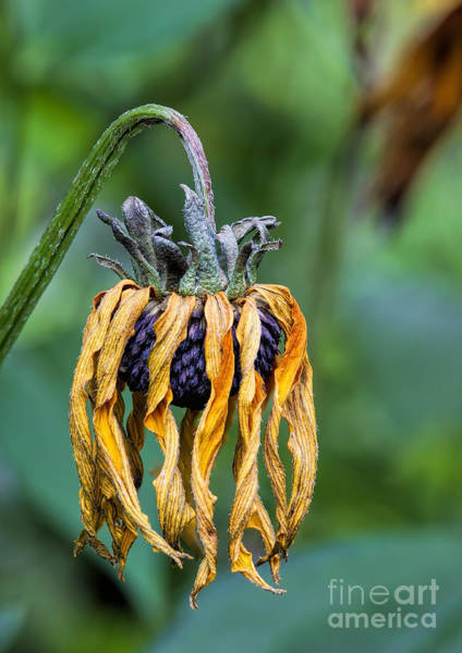 Photograph - Dead And Wilted by Rick Kuperberg Sr