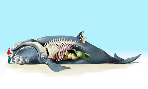 Marine Layer Photograph - Dead Beached Whale Anatomy by Jose Antonio Penas/science Photo Library