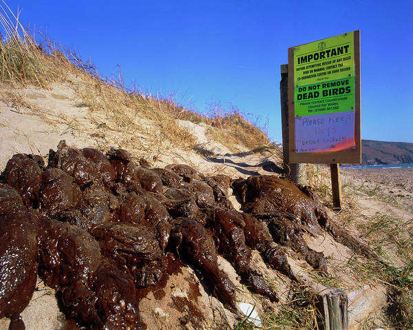 Wall Art - Photograph - Dead Birds Killed By An Oil Spill At Sea. by Simon Fraser/science Photo Library