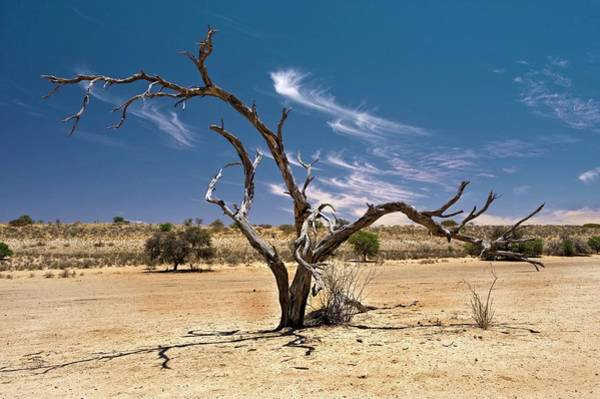 Wall Art - Photograph - Dead Camelthorn Tree (acacia Erioloba) by Tony Camacho/science Photo Library