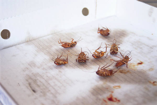 Pest Wall Art - Photograph - Dead Cockroaches by Gustoimages/science Photo Library