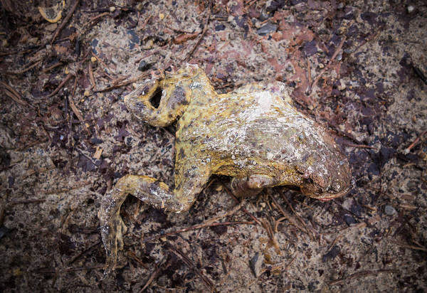 Photograph - Dead Frog by Matthias Hauser