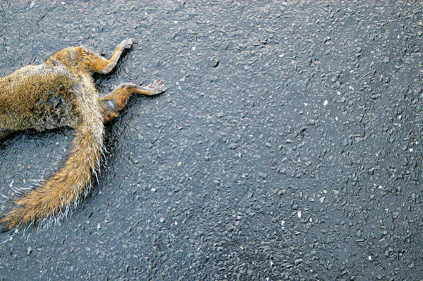 Grey Squirrel Photograph - Dead Grey Squirrel by Gustoimages/science Photo Library