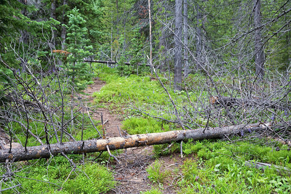 Continental Divide Photograph - Dead Pine Trees Blocking A Hiking Trail by Jim West
