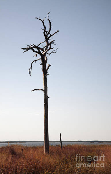 Photograph - Dead Tree At Blackwater Wildlife Refuge In Maryland by William Kuta