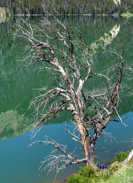 Wind River Range Wall Art - Photograph - Dead Tree At Green River Lakes -wyoming by Gary Whitton