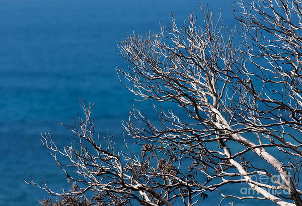 Photograph - Dead Tree Blue Sea by Rick Piper Photography