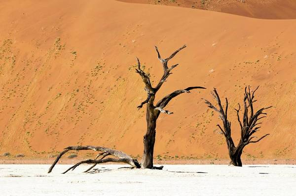 Wall Art - Photograph - Dead Trees In Desert by Sharpshooters/science Photo Library