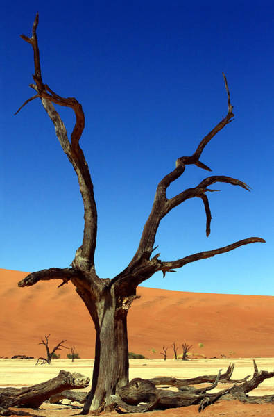 Photograph - Dead Vlei Fork Tree by Aidan Moran