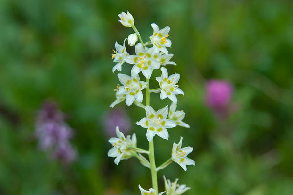 Photograph - Death Camas Wildflower With Green Background by Cascade Colors