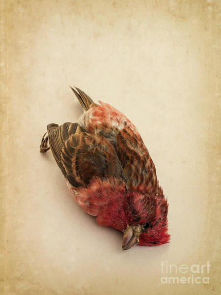 Crossbill Photograph - Death Of The Innocent by Edward Fielding