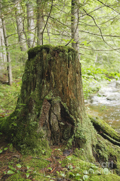 Photograph - Decaying Tree Stump - White Mountains New Hampshire  by Erin Paul Donovan