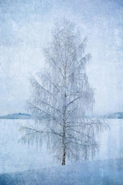 December Birch Art Print