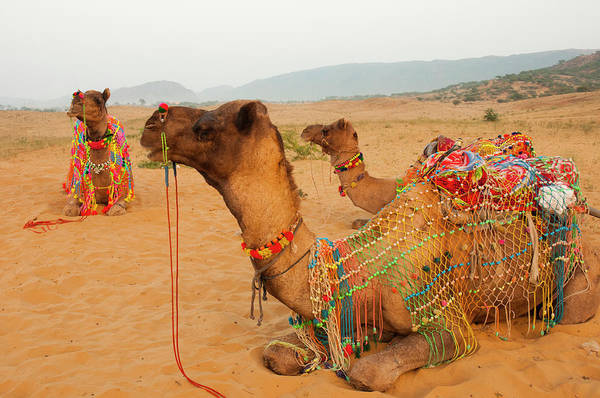 Dromedary Wall Art - Photograph - Decorated Camels, Pushkar, Rajasthan by Inger Hogstrom