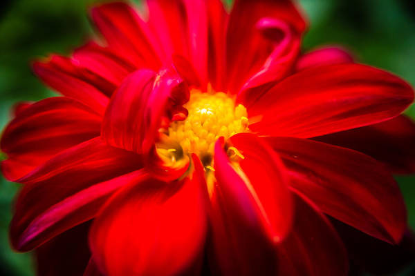Photograph - Deep Red Dahlia With Yellow Center by  Onyonet  Photo Studios