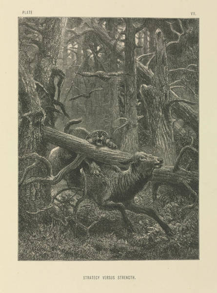 Wapiti Photograph - Deer And Forest Cat by Natural History Museum, London/science Photo Library