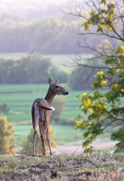 Photograph - Deer At Dusk by Pat McGrath Avery