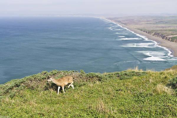 Photograph - Deer At Point Reyes National Seashore by Priya Ghose