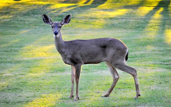 Photograph - Deer At Sunset by AJ  Schibig