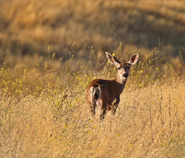 Photograph - Deer by Beth Sargent